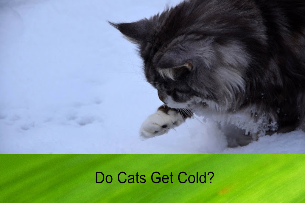 Do Cats Get Cold?
