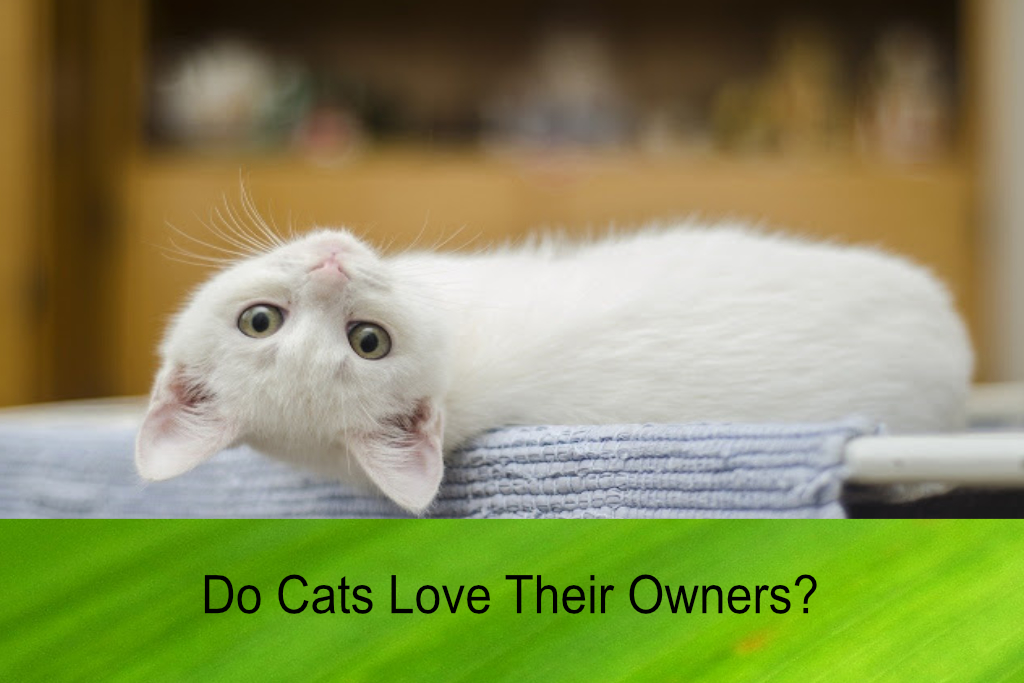 Do Cats Love Their Owners?