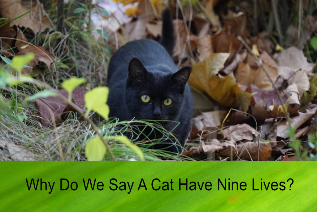Why Do We Say A Cat Have Nine Lives?