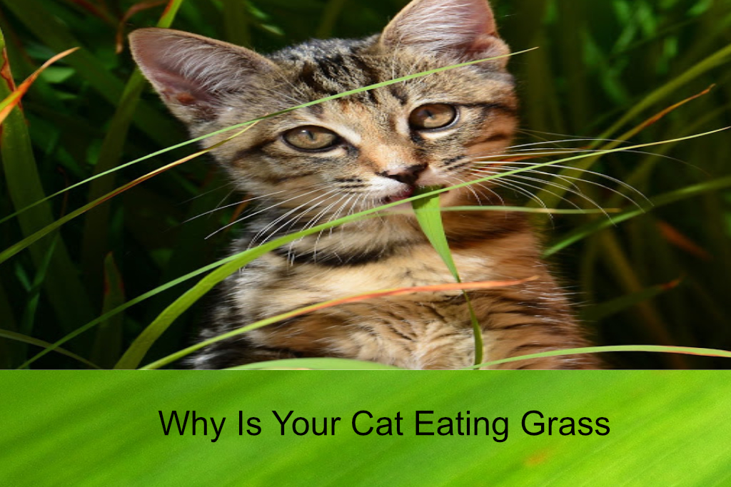 Why Is Your Cat Eating Grass