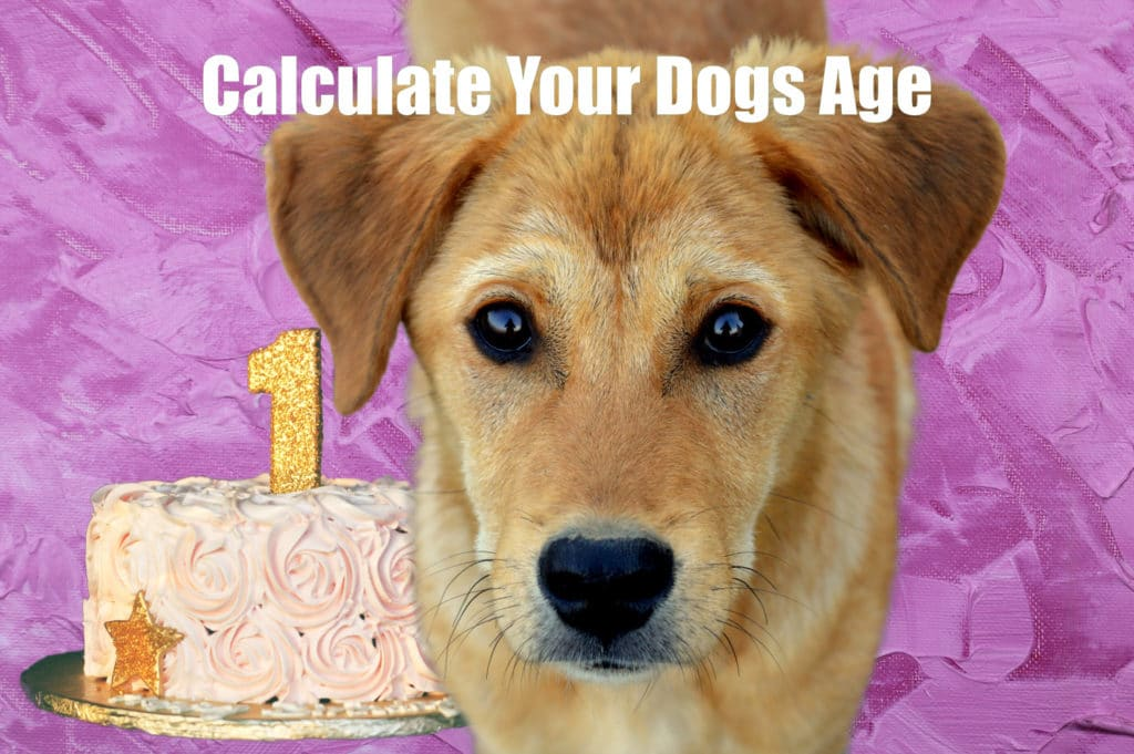 Tool - Calculate Your Dogs Age