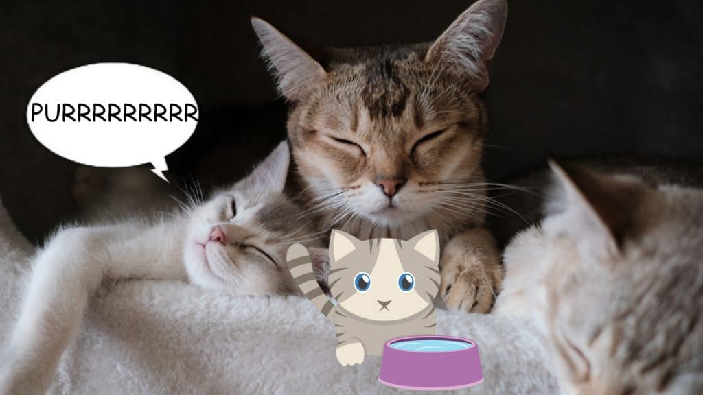 why do cats purr 2